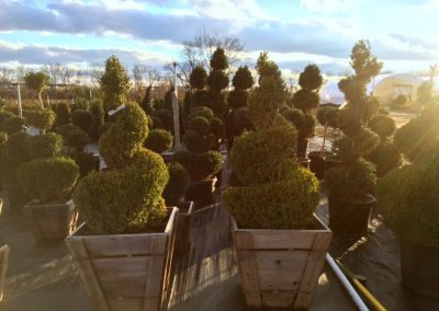 Buxus Topiaries