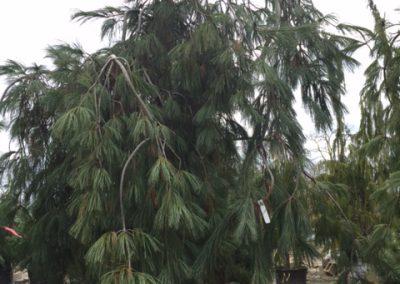 Pinus Pendula