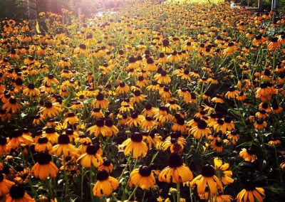 Rudbeckia 'Goldstrum' (3)