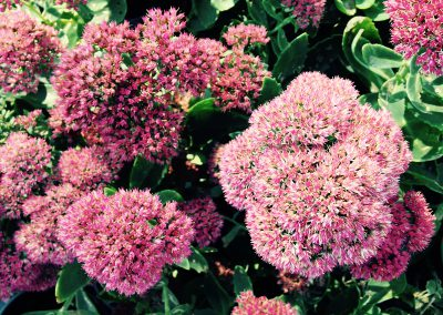 Sedum Autumn Joy 1200x900