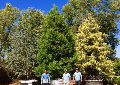 Specimen conifers