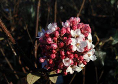Viburnum x 'Burkwoodii'