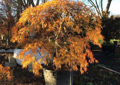 Virdis Fall Color