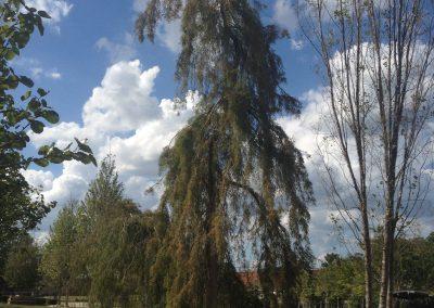 Weeping Bald Cypress (1)