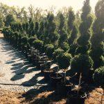 American Boxwood Topiary