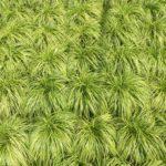Japanese Sedge grass